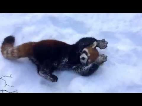 Check out this article from USA TODAY:  Red pandas look adorable playing in snow  http://usat.ly/1AbDeZ9