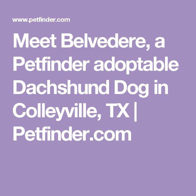 Meet Belvedere, a Petfinder adoptable Dachshund Dog in Colleyville, TX | Petfinder.com