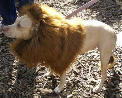 Dolion-Cross between a dog and lion: Rare Animal, Strands, Dogs Crosses, Rare Dna, Mascotas Genética, Animal Science, Dolion Crosses, Exotic Animal, Unfortun Magic