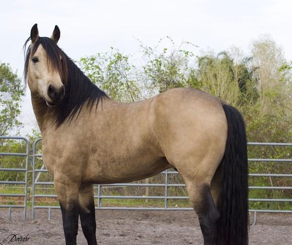 horses, particularly buckskins http://media-cache2.pinterest.com/upload/273171533617202334_1M8Dim1s_f.jpg jen_king what i love about life: Dreams Horses, Beautiful Buckskin, Pretty Hors, Buckskin Horses, Color, Quarter Horses, Favorite Hors, Wild Hors, Animal