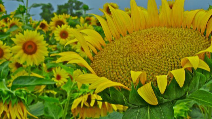 Giant Sunflowers HD Wallpaper