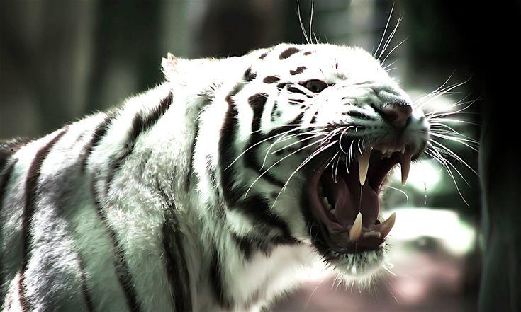 Дух Насекомое (Белый Тигр), Бай Ху, 虎. Дух войны Ци Мень #ЦиМень #ЦиМэнь #ЦиМеньДуньЦзя #ЦиМэньДуньЦзя
