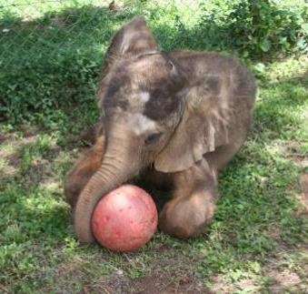 Baby elephant Charles loves to play football! Here he is at five months old