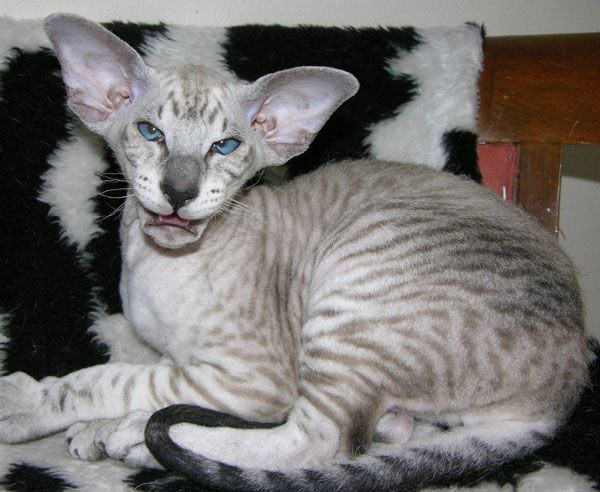 Peterbald cats are one of the world's most expensive cats. This cat comes from Russia. Peterbald Cats have very short hair, almost hairless.
