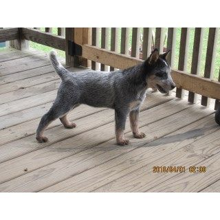 Australian Cattle Dog puppies and dogs for sale and adoption ...