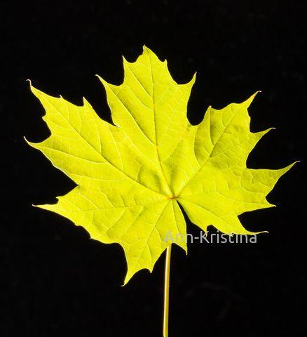 Ann-Kristina Al-Zalimi, Acer platanoides, vaahtera, lönn, maple, flora