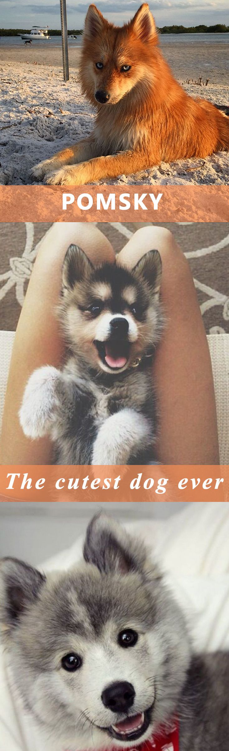 Pomsky – or The Pomeranian Husky… the cutest dog ever