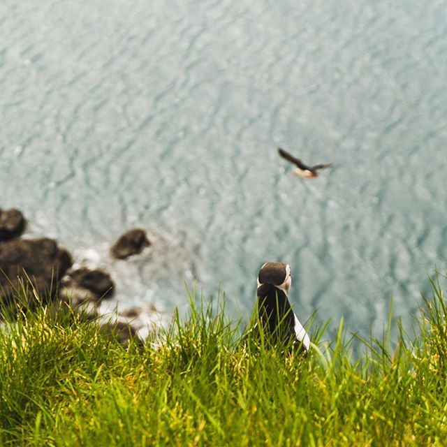 Hey Frank! where are you going? /Puffins on Latrabjarg Iceland/