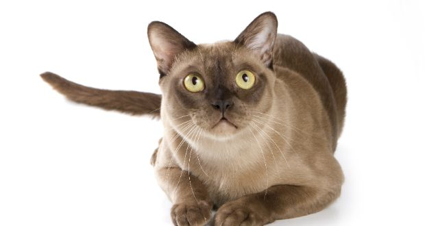 The 10 Most Intelligent Cats         Burmese Cat above
