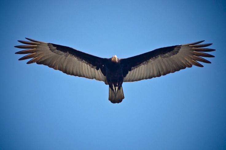 Condor, Peru