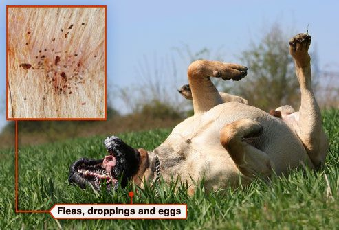 Dog grooming fotolia_rf_photo_of_dog_with_fleas_scratching_back