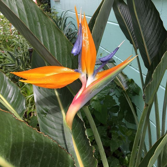 Well Hello Glad To Have You Back Wingswormsandwonder Birdofparadiseflower Birdofparadise Birds Of Paradise Flower Nature Art Birds Of Paradise
