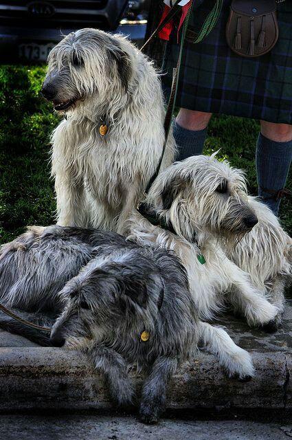 Scottisch Deerhound