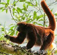 Writing Berries: Lazy Monkey: Koffie met een verhaal http://writingberries.blogspot.nl/2014/10/lazy-monkey-koffie-met-een-verhaal.html #apenheul @apenheul