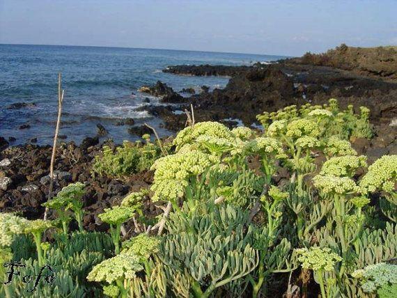 Για φυτά και σπορόφυτα κρίταμου 6978117325