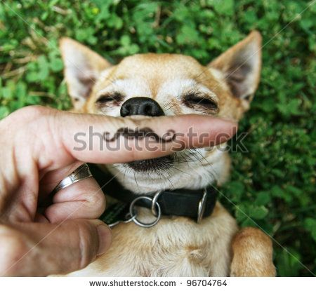 a chihuahua with a mustache
