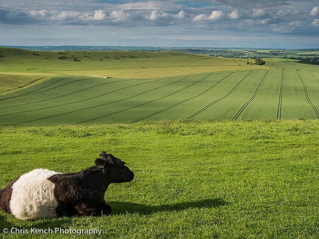 Belted Galloway by Chris Kench Photography, via Flickr