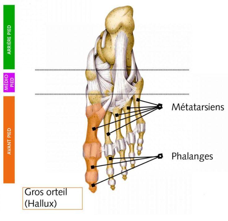 Nom scientifique (terminologie médicale) pour parler du gros orteil, premier orteil de l'intérieur du pied . Du latin hallus, allux, allus(gros orteil). Appelé aussi :Gros orteil – Halluces (plur…