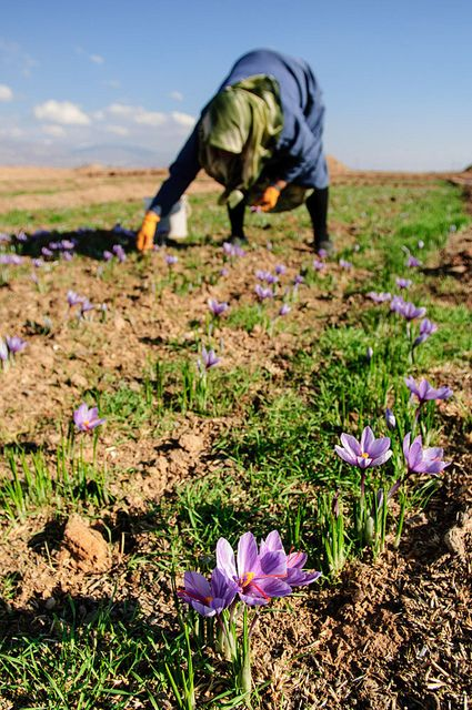A few strands of Saffron. Iran