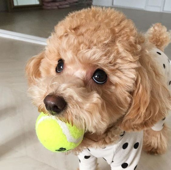Resultado de imagen para poodle toy ball