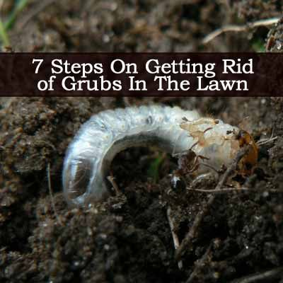 Lawn Grubs 7 Steps For Getting Rid Grub Worms In Your Yard Pinterest Garden Pests And