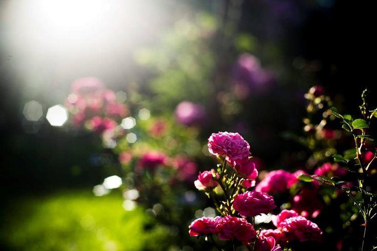 Upea Hatanpään arboretumin ruusutarha sijaitsee Tampereella Pyhäjärven rannalla kauniilla paikalla vanhassa kartanomaisemassa.