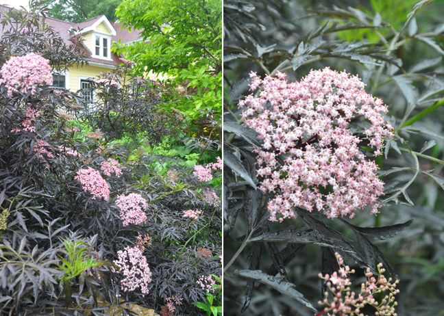 "Sambucus ""Black Lace"""