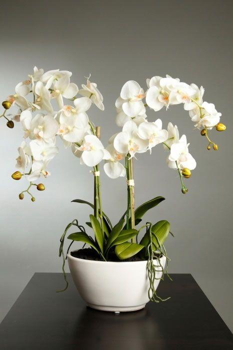 Tienes una orquídea y no florece?? Te damos cuatro causas de ellos.