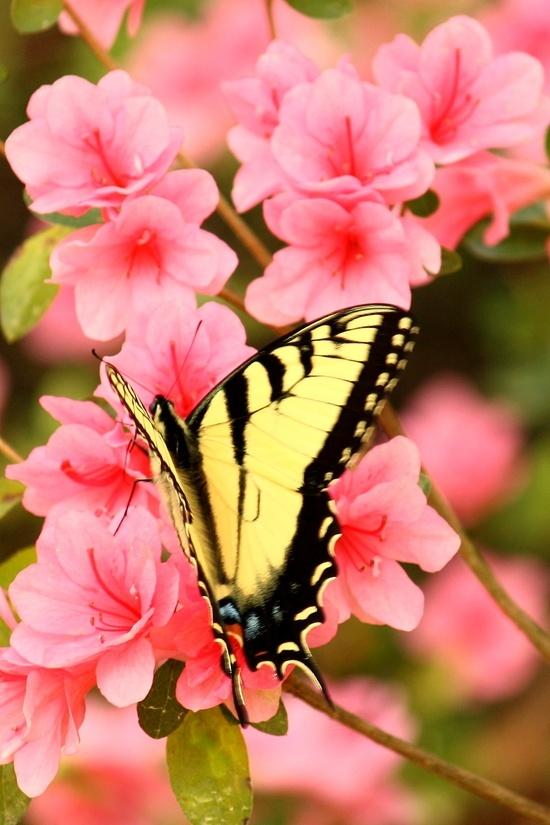 Beautiful butterfly on pink flowers.