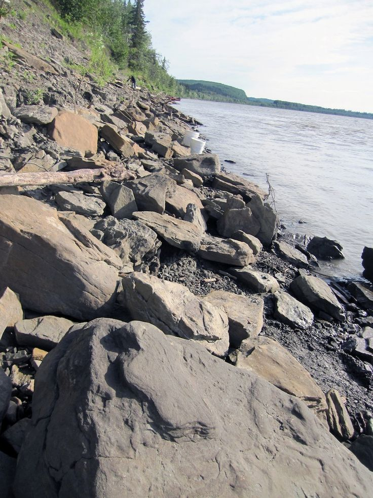 Researchers may have just scratched the surface of a major new dinosaur site nearly inside the Arctic Circle. This past summer, they discovered thousands of fossilized dinosaur footprints, large and small, along the rocky banks of Alaska's Yukon River. In July, the scientists from the University of Alaska Museum of the North embarked on a 500-mile (800 kilometers) journey down the Tanana and Yukon rivers; they brought back 2,000 pounds (900 kilograms) of dinosaur footprint fossils.