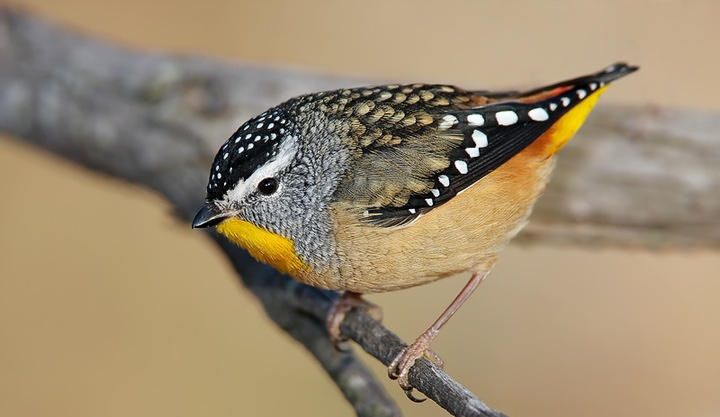 Striated Pardalote, colorful-bird-pictures