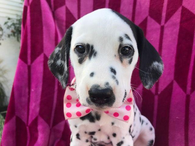 Dalmatian puppy for sale in QUARRYVILLE, PA. ADN-42609 on PuppyFinder.com Gender: Female. Age: 7 Weeks Old