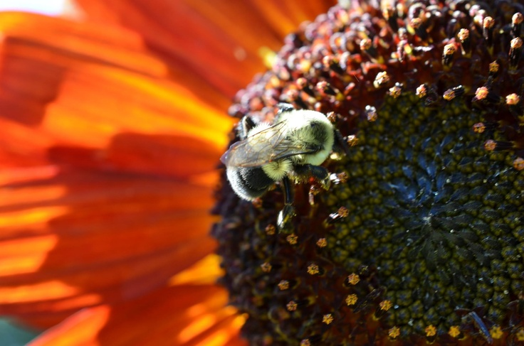 Bumblebee on red sunflower