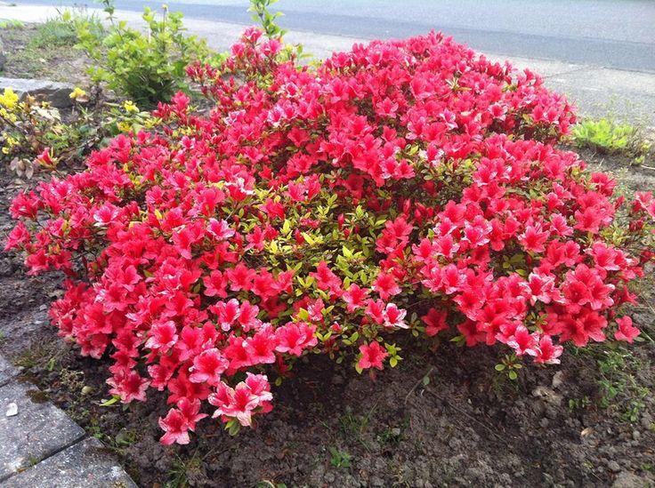 Azalea from our garden