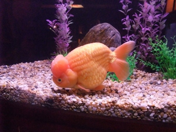 Fat goldfish my fat pet fish pinterest goldfish pet for What are fatty fish