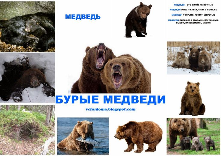 """мини-энциклопедией """"Бурые медведи"""" в виде книжки скачать бесплатно"""