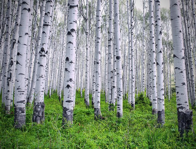 gray aspen grove... by Chad Galloway