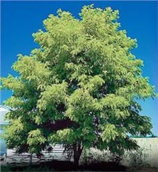 Thornless Honeylocust - My parents had these at their home and I always loved the smell of the flowers.