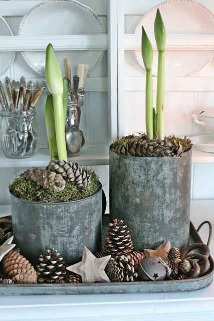 Amaryllis shoots, moss filled tins and pinecones ~ rustic farmhouse holiday perfection!