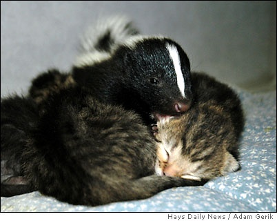 skunk with a kitten