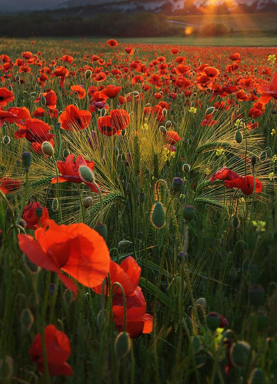 Poppies in a barley field - it looks so familiar to me