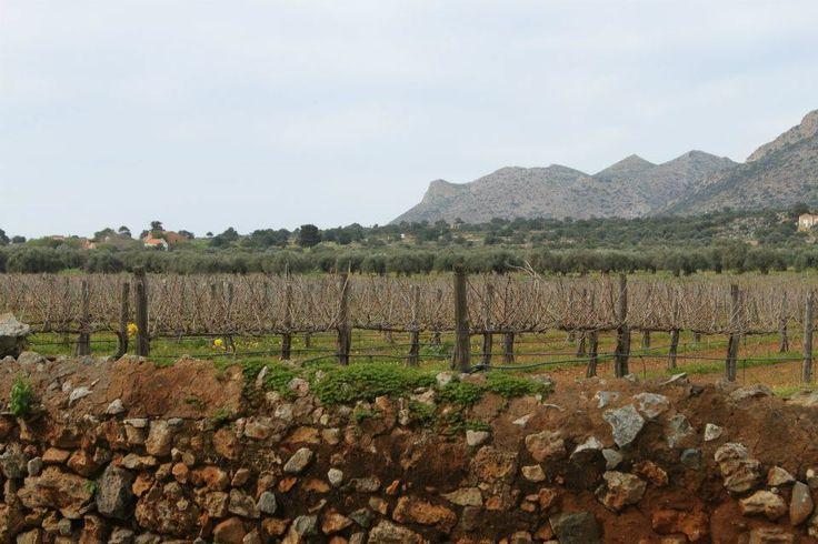 The vineyards at Agia Triada