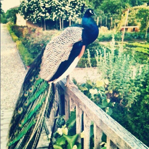 Ecco l'elegante abitante dell'Antica Corte Pallavicina, pronto ad accogliervi con le sue piume colorate!