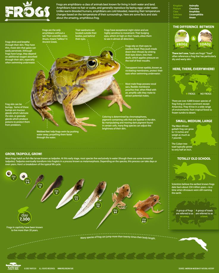 Frogs The Thin Green Line Infographic All About Frogs Nature Pbs Frog Animal Infographic Frog Facts