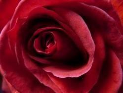 Las rosas burdeos: significa belleza inconsciente.