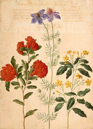 Gardenia, from Horti Itzeinensis, by Johann Jakob Walther (V&A Custom Print)