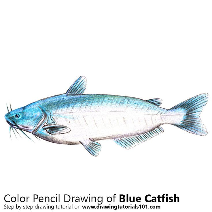 Blue Catfish with Color Pencils [Time Lapse]