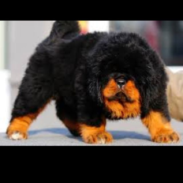 Simple Tibetan Mastiff Chubby Adorable Dog - 3343a98d520eaa1cc75215297cfc6ca7--tibetan-mastiff-puppies-mastiff-dogs  Pictures_93934  .jpg