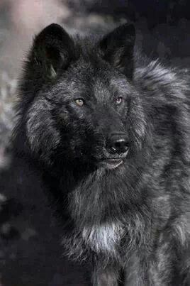 Black Wolf is a color variation of the Grey Wolf                                                                                                                                                      Mehr