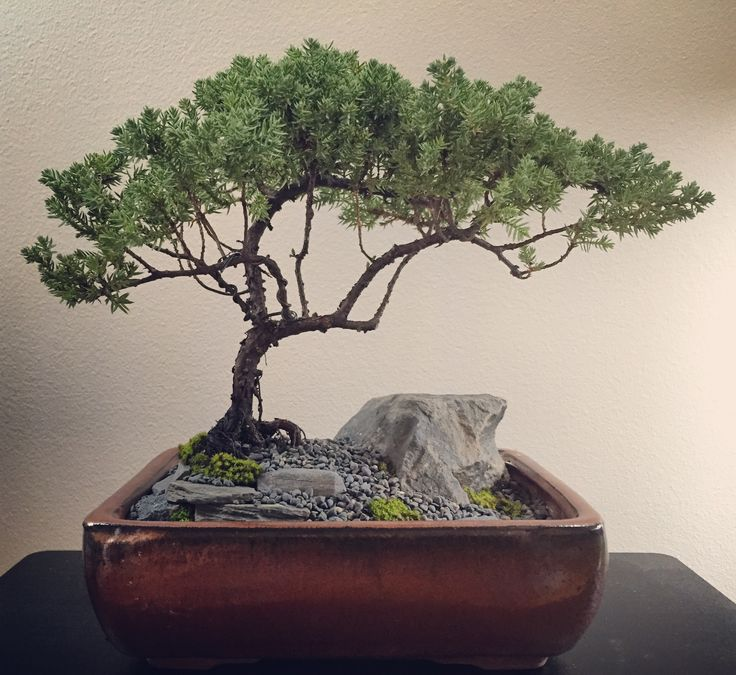 My little #juniper with some fresh #landscape work. Not sure yet what I want this one to end up looking like, but for now I'm just having fun with its form. 05-07-16. #bonsai #tree #gardening